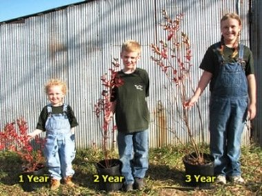 Blueberry Plants For Sale Buy Blueberry Bushes