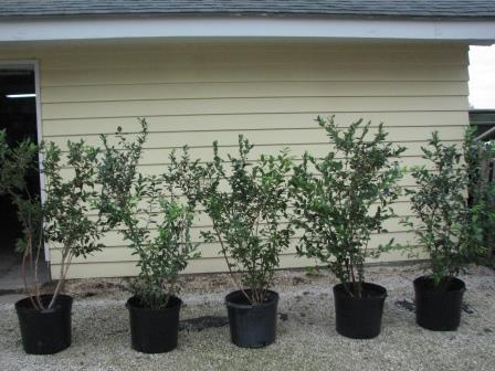 Mature Blueberry Bushes For Sale Buy Blueberry Bushes Online
