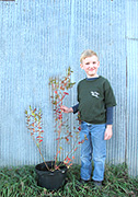 2-year old blueberry plants for sale