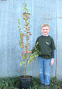 Large blueberry plants for sale