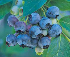 Blueberry plant with cluster of ripe blueberries
